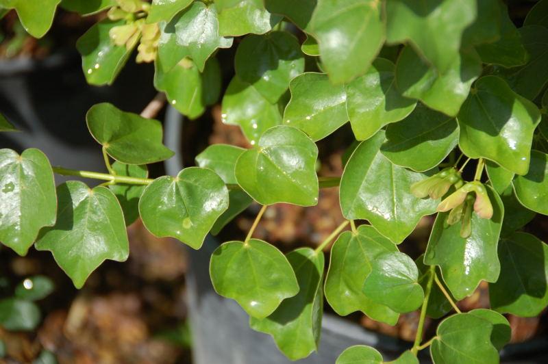 integrifolium maruba tokaede