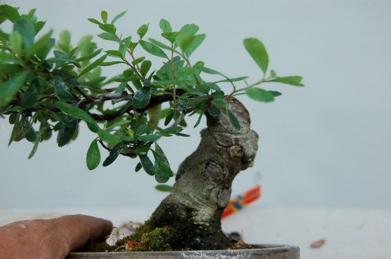 Choosing Branches   California Bonsai Art