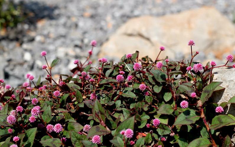 pink-knotweed_60001