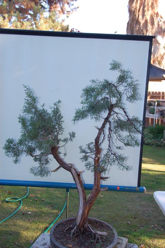 California juniper   California Bonsai Art
