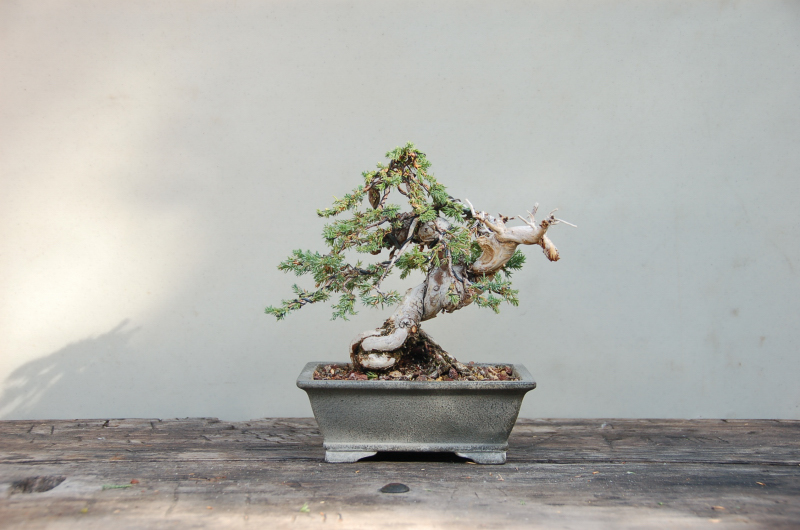 California Bonsai Art Live From The Bonsai Bunker