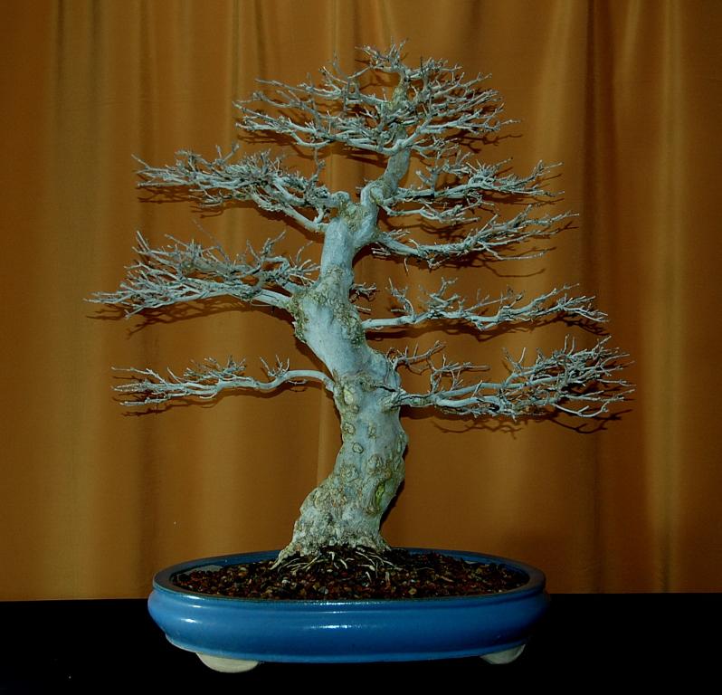 California bonsai art live from the bonsai bunker - Fresno home and garden show 2017 ...